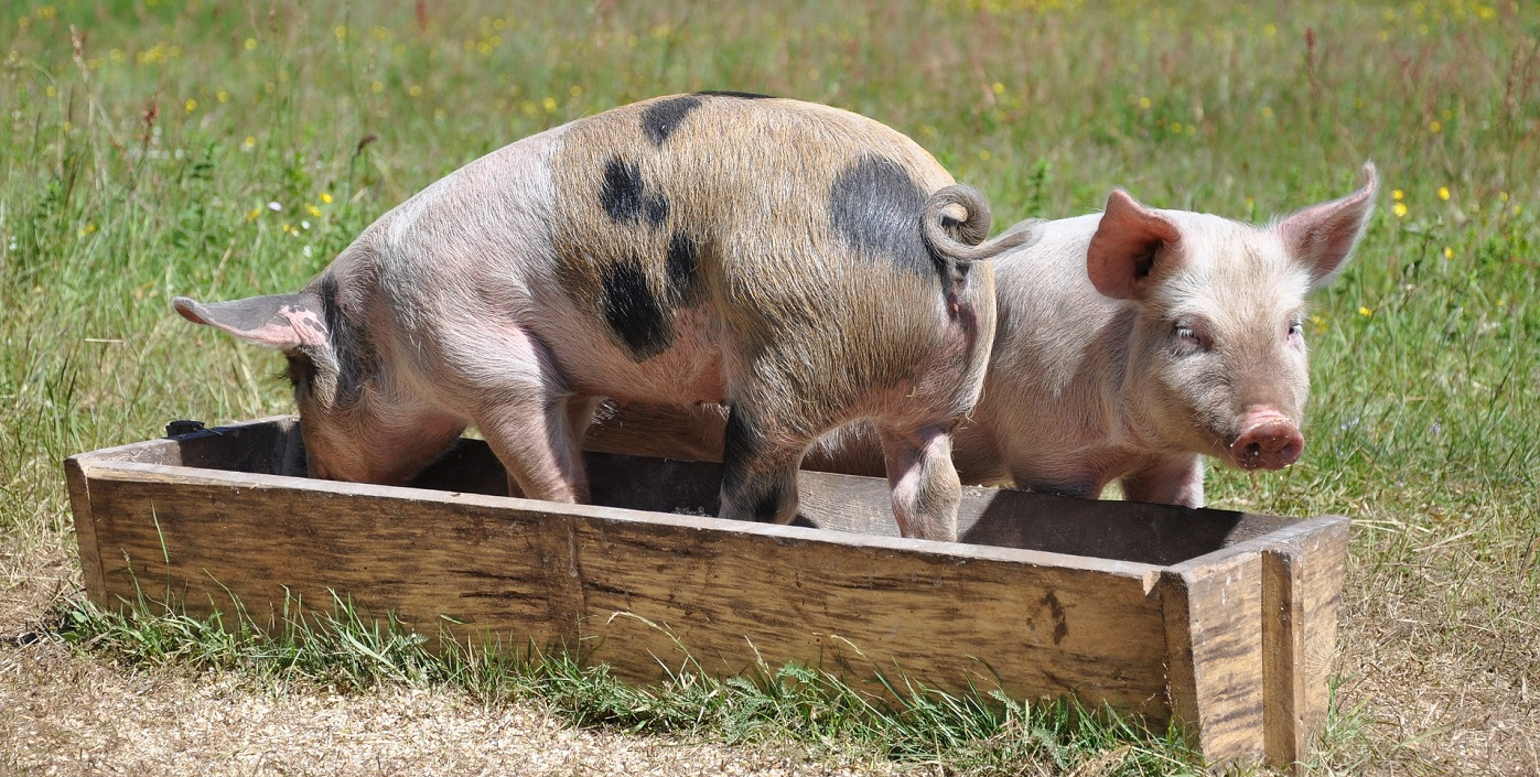 pigs-662001_1920